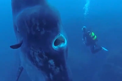 Divers Find Themselves Up Close To A Giant Fish You've Never Seen Before