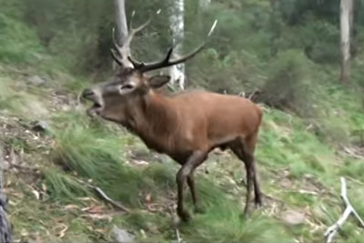 He Was Filming The Woods, Then This Roaring Red Stag Came Near Him