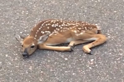 Man Finds Fawn 'Hiding' In Middle Of The Road, Quickly Leaps Into Action