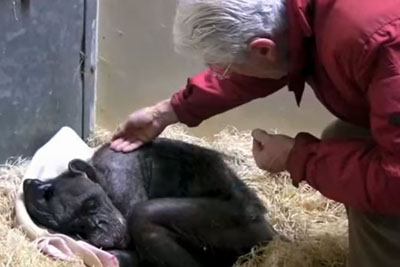59-Year-Old Chimp Refuses To Eat And Drink. But Watch When She Sees An Old Friend