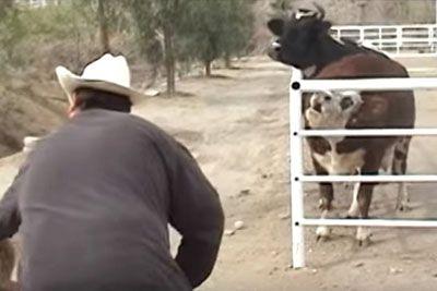Krava ni nehala jokati, ker so ji vzeli mladička. To je prizor, ko ga znova zagleda!