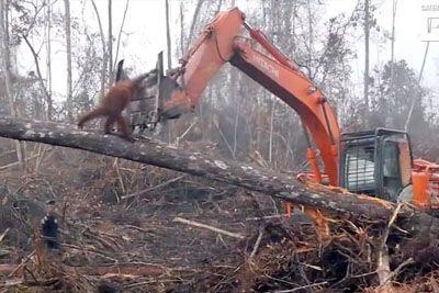 Živalim so zaradi zaslužka posekali gozd! Tako se jim je zoperstavil orangutan...
