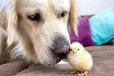 Zlati prinašalec prvič videl malega piščančka: Takšen prizor je posnel lastnik!