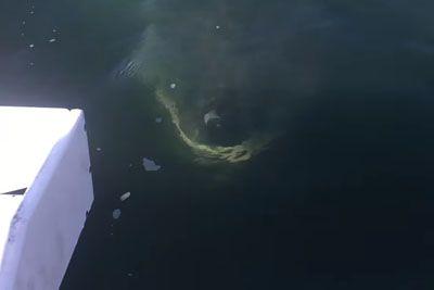 Na čolnu posneli pravo pošast: Prestrašil jih je beli morski pes!