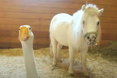 Goska na kmetiji varovala rešenega konjička: Postala sta najboljša prijatelja!