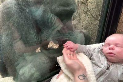 VIDEO: Mama gorila ganila svet: Tako se je odzvala, ko je videla dojenčka!