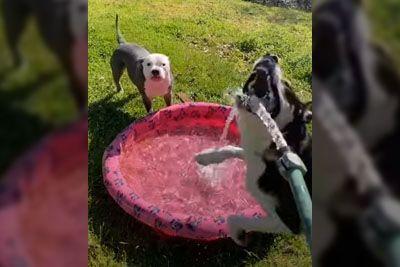 Kuža skakal od veselja, ko je lastnik z vodo polnil otroški bazenček