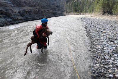 Kajakaši na reki rešili mladička losa, ki se je utapljal